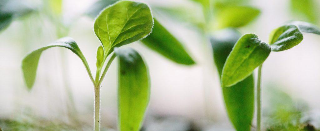 Plant cuttings