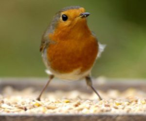 Britons are helping to keep our birds thriving