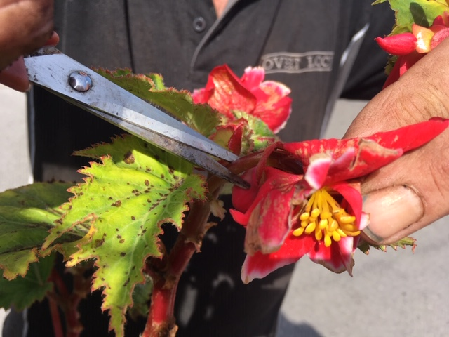 Begonia- tidying up dead heading august tips 2