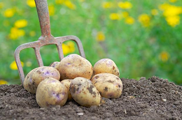 Potatoes on soil with digging fork