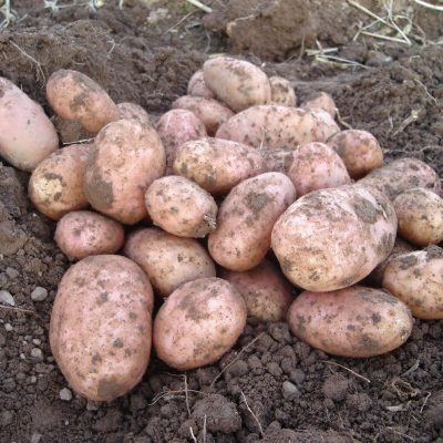 Stemster Seed Potatoes
