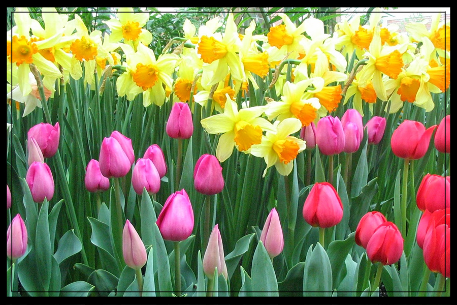 Picture of Spring Bulbs